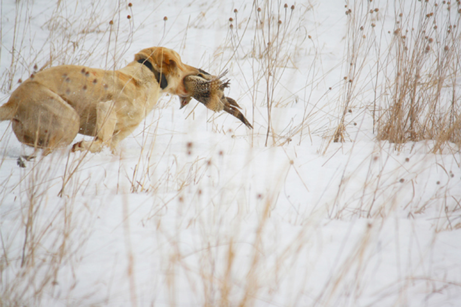 Dog retrieving a pheasant in the snow